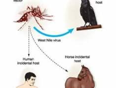 Batı Nil Virüsü Nedir?