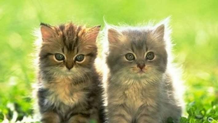 Kedi Alerjisine Yeni Çözüm