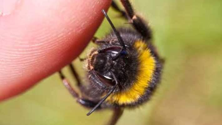 Öldürücü Bakterilere Karşı Arıların Propolisi