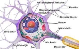 Nörojenez (Nörogenez)