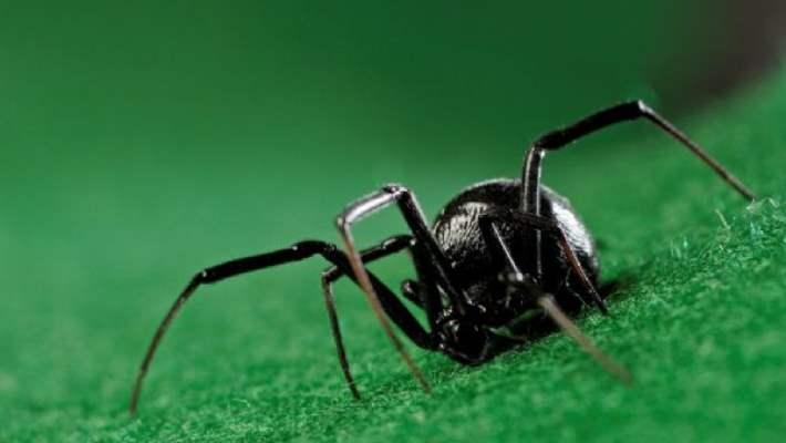 Siyah Örümcek Isırması Tedavisi