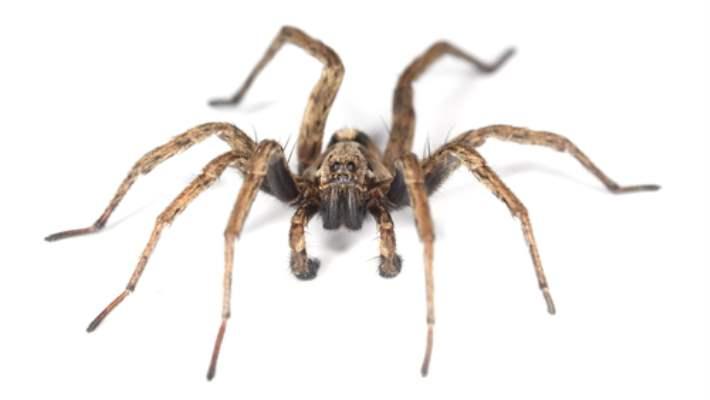 Araknafobi (Örümcek Fobisi)